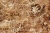 Solidago fistulosa, Pine Barrens Goldenrod; Atlantic County, New Jersey 2015-01-11