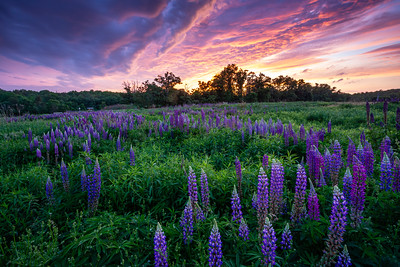 Lupine Sunset #2