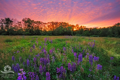 Lupine Sunset