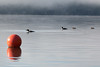 Loon Family on Seely Lake