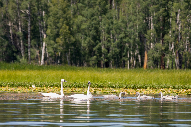 Saying Good-bye to the trumpter swans