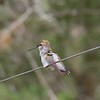 ++++8271482  Hummingbird  – Version 3