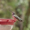 ++++8051313 080517 Young Black Chinned Hummingbird – Version 2