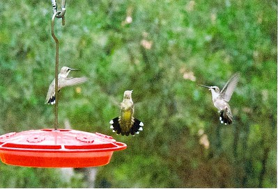 061509 Hummingbirds -Scan 3 copy TEST