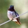 ++++9011533 Hummingbird (Costa's?) – Version 2