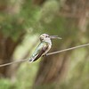 ++8051301 080517 Young Black Chinned Hummingbird – Version 2