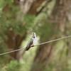 ++++8051309 080517 Young Black Chinned Hummingbird – Version 2
