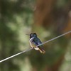 ++++9011541 Hummingbird (Costa's?) – Version 2