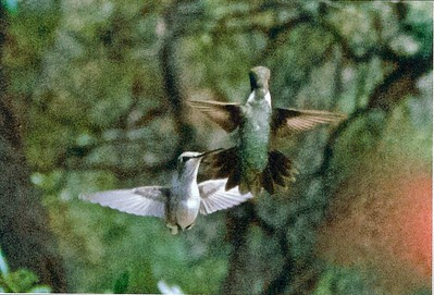 061509 Hummingbirds - Scan 6 copy TEST