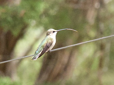 +++8051297 080517 Young Black Chinned Hummingbird – Version 2
