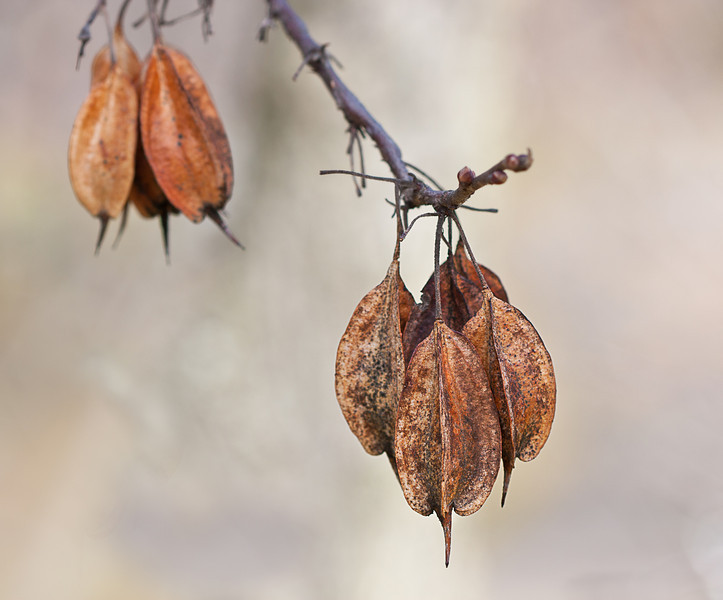 Seed pods of Carolina Mountain Silverbell