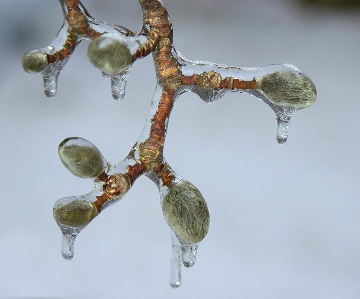 Star Magnolia buds encased in ice.