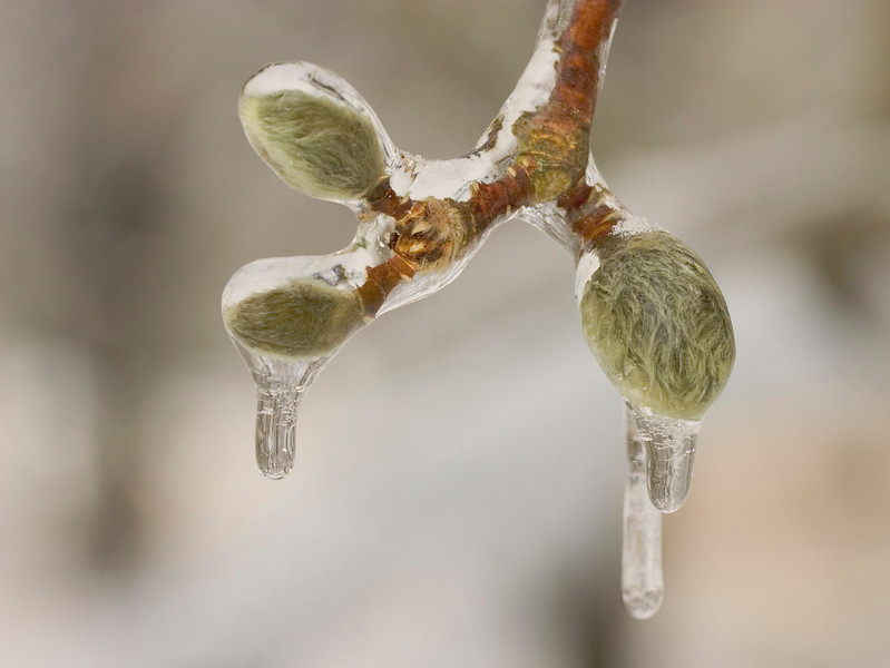 These Star Magnolia buds are encased in ice following a winter ice storm.