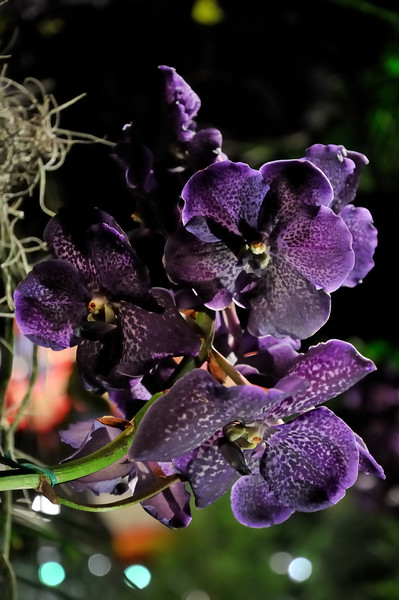 Deep purple orchids - 2010 Philadelphia Flower Show