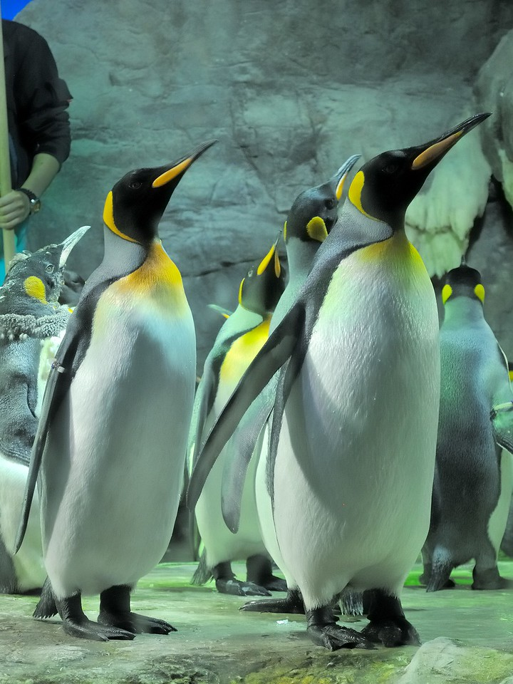 King Penguins - Osaka Aquarium Kaiyukan - Osaka, Japan