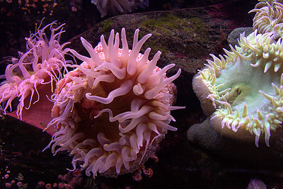 Sea anenomes