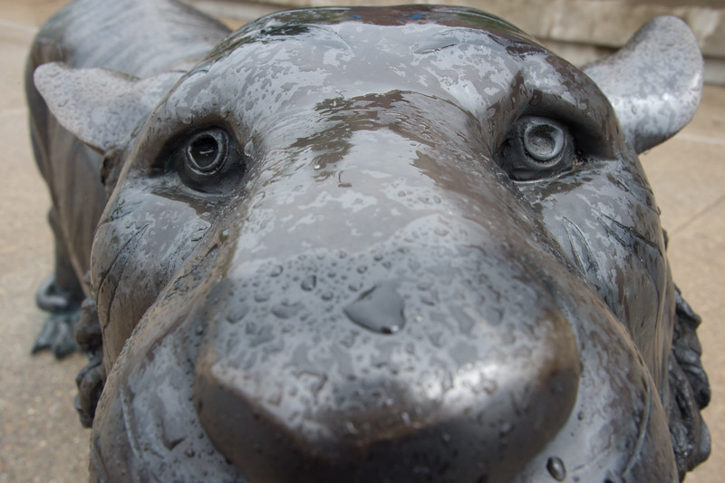 Close up of raindrops on face of Bengal Sculpture at Buffalo State College.