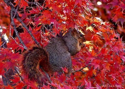 Squirrel in Red