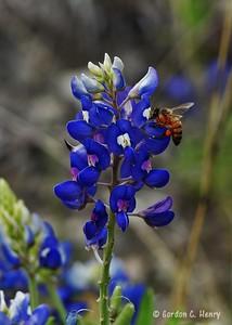 Bee on Bluebonnet