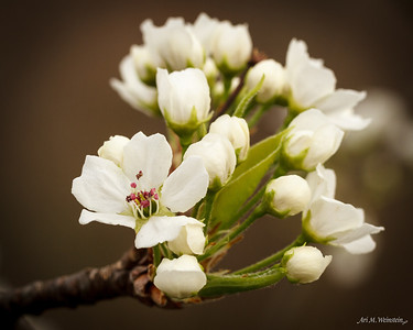 Pear Blossoms, Spring 2012