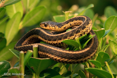 A friendly garter snake sunning on top of my hedge.