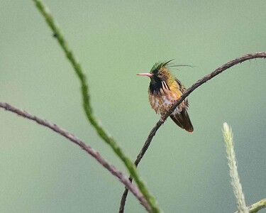 Black-crested Coquette (male)