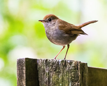 Ruddy-capped Nightingale Thrush