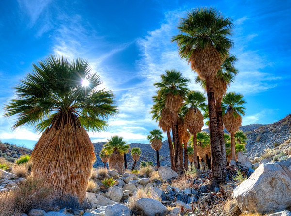 Native Palm Grove, Anza Borrego Desert State Park, California