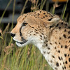 Profile of a Cheetah, Masai Mara Game Reserve, Kenya