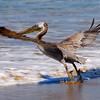 Pelican Takeoff, California Coast