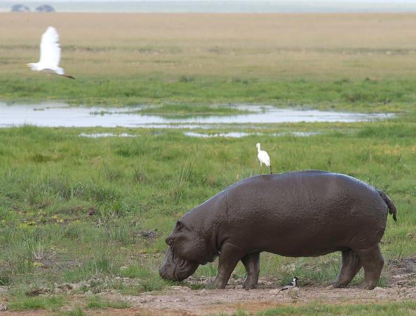 Hippo, Amboseli National Reserve, Kenya