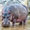 Hippo, Preparing for a Swim, Serengeti National Park, Tanzania