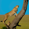 Cheetah with Cub, Masai Mara Game Reserve, Kenya