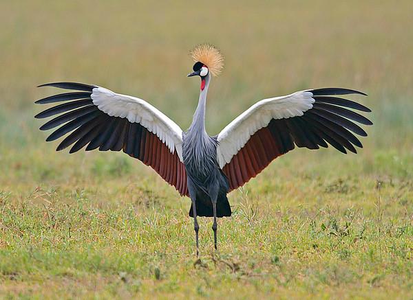 Crowned Crane, Ngorongoro Conservation Area, Tanzania