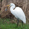 Egret Catching a Mouse, Humboldt Bay, California