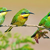 Bee-Eaters on the Watch, Serengeti National Park, Tanzania