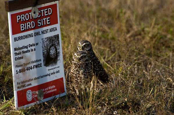 Burrowing owls Cape Coral, Florida
