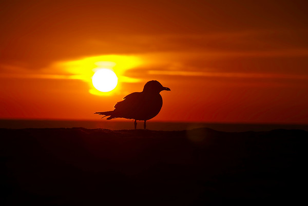 Seagull Silhouette Sunrise at Fernandina Beach, Florida