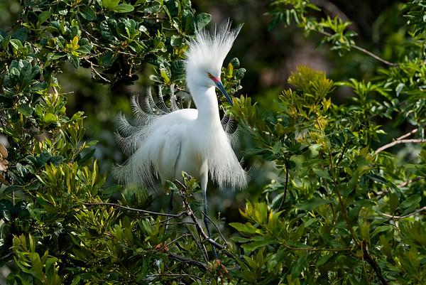 Snowy egret St. Augustine, Florida