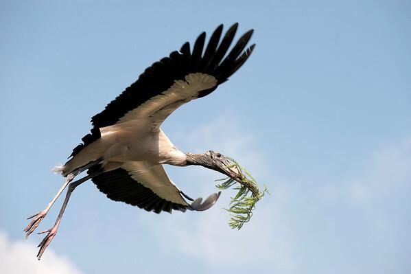 Wood stork St. Augustine, Florida