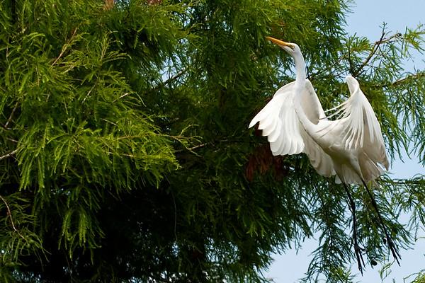 Great egret St. Augustine, Florida