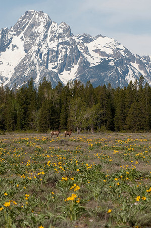 Elk Grand Teton National Park