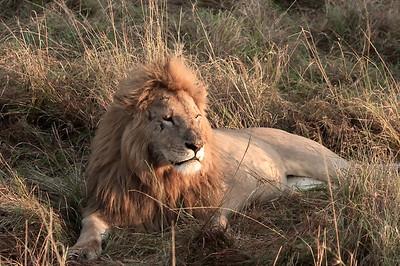 Lion Masai Mara National Park, Kenya, Africa