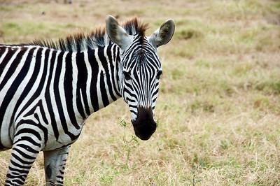 Zebra Amboseli National Park, Kenya, Africa