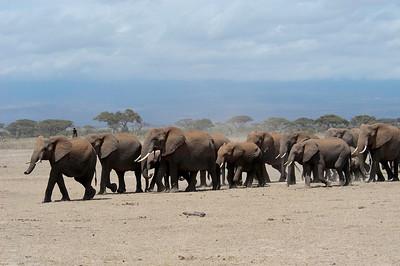 Elephant herd Amboseli National Park, Kenya, Africa