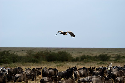 Vulture flying over a herd of wilderbeest an zebras Masai Mara National Park, Kenya, Africa