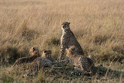 Cheetah Masai Mara National Park, Kenya, Africa