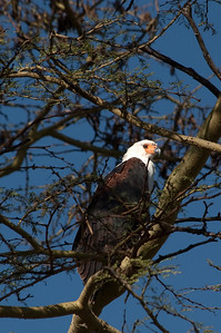 African fish eagle Lake Nakuru National Park, Kenya, Africa