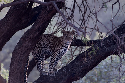 Leopard Lake Manyara National Park, Tanzania, Africa