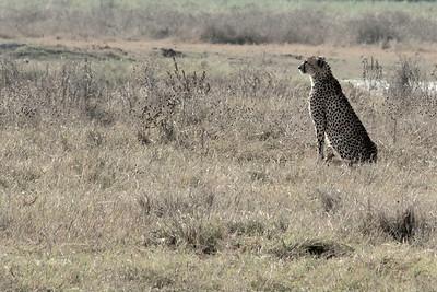 Cheetah Ngorongoro Crater, Tanzania, Africa